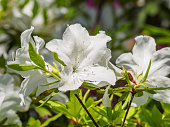 Summer flowers series, white rhododendron blossom close-up in garden.