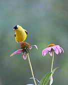 A bright yellow male goldfinch perching on a purple coneflower in summer.