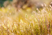 A near view of summer grasses in Yellowstone National Park. Parade Rest Ranch, Montana, USA.