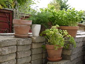 Summer herbs in ceramic outdoors