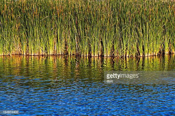Summer lake cattails
