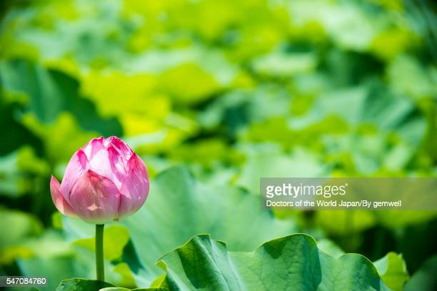 summer lotus bud
