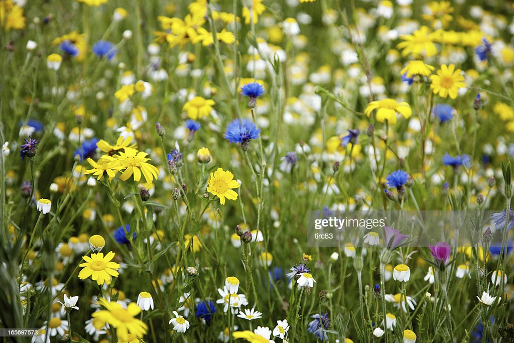 Summer meadow of british wildflowers : Stock Photo