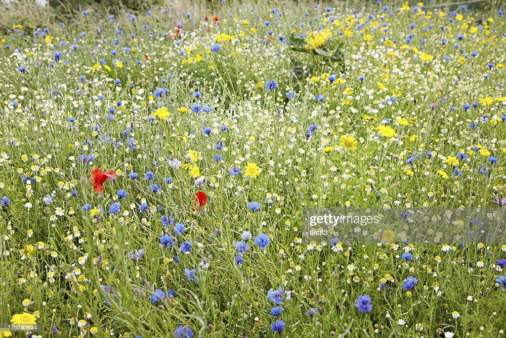 Summer meadow of british wildflowers : Stock Photo