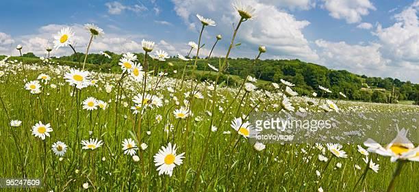 Summer meadow sunny daisies