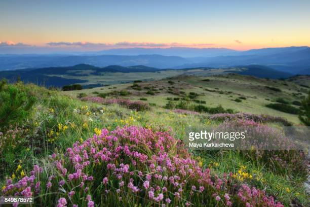 Summer meadow with pink flowers in a mountain at dusk