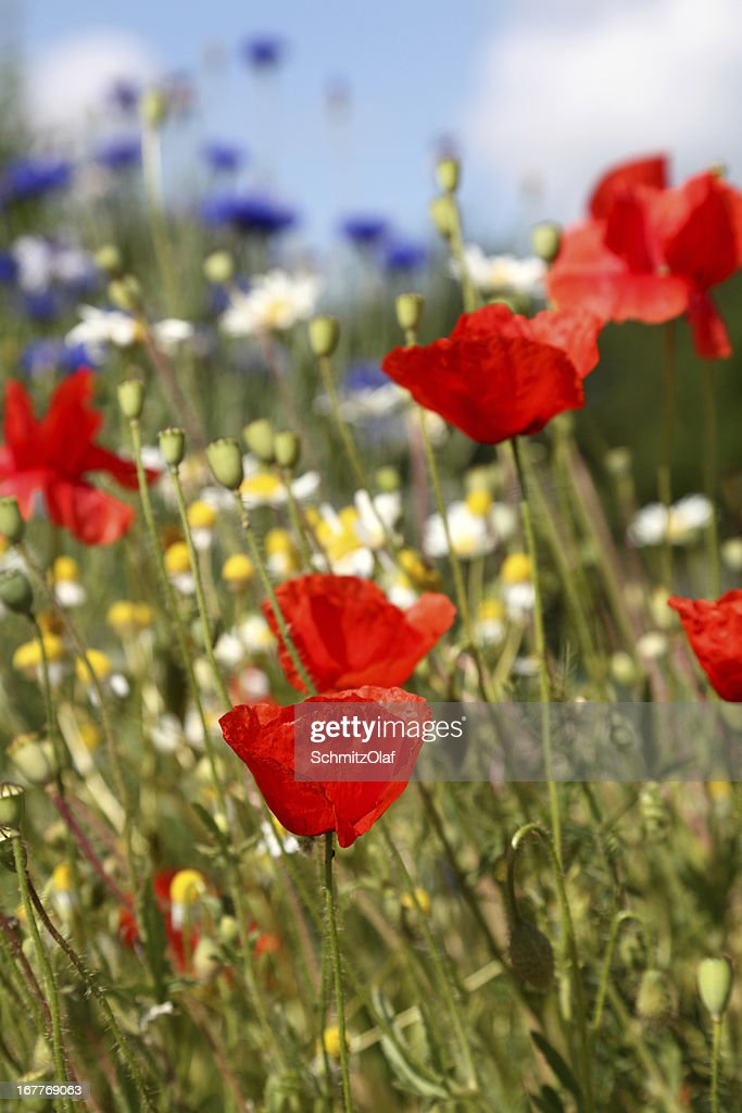 summer meadow with poppy cornflower chamomile