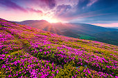 Summer morning scene of Carpathian mountains. Fresh grass and rhododendron flowers glowing last sunlight in the sunset. Chornogora ridge, Ukraine, Europe.