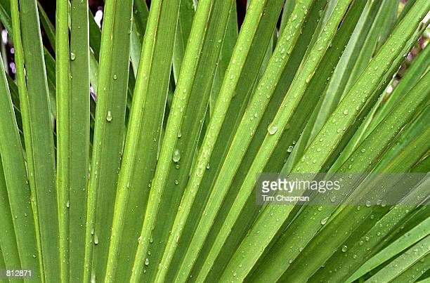 A summer rainstorm forms water drops on a native palm frond in the Everglades National Park FL September 6 1997 Covering 15 million acres the...