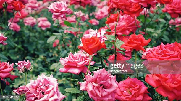 Summer Red Rose In Garden
