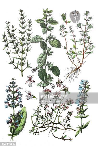Summer savory Satureja hortensis lemon balm Melissa officinalis Marjoram Origanum majorana meadow sage Salvia pratensis wild thyme Thymus serpyllum...