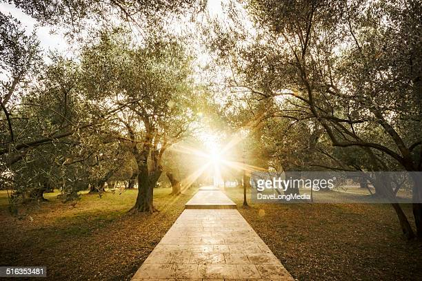 Summer Sun in Olive Garden