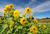 Summer Sunflowers with blue sky