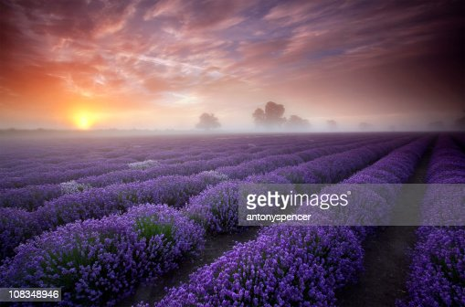 Summer sunrise over a field of lavender.