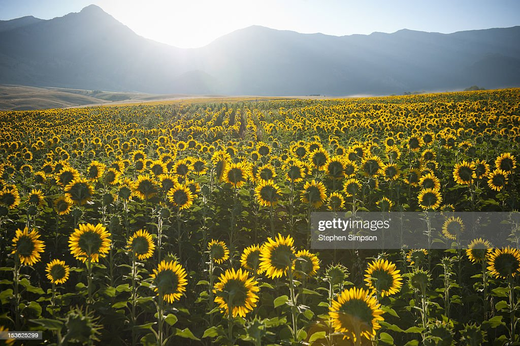 Summer sunrise over sunflower field : Stock Photo