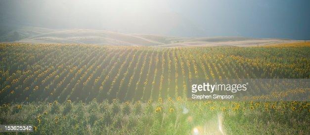 Summer sunrise over sunflower field : Stock Photo