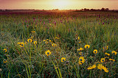 This photograph of Ashy Sunflower and Gayfeather was made at sunrise on a summer morning in the Flanagan Prairie, Arkansas.