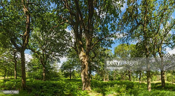 Summer sunshine in green oak forest idyllic woodland