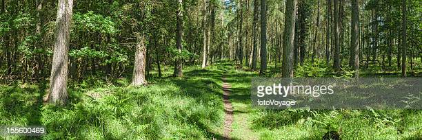Verão vibrante caminho através da floresta verde panorama