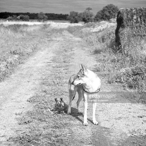 Summer walk with wolf and puppy