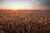 Morning light on a summer wheat field, Saskatchewan, Canada. Image taken from a tripod.