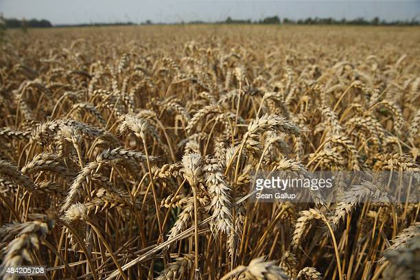 Summer wheat grows in a field during harvest time at a cooperative farm on August 14 2015 near Grossderschau Germany The German Farmers' Association...