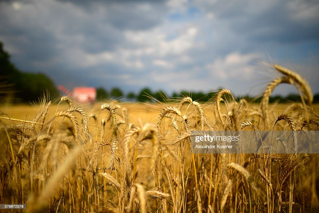 Summer wheat stands on a field on July 21 2016 near Neustadt am Rubenberge Germany According to local farmers the water content of wheat harvested so...