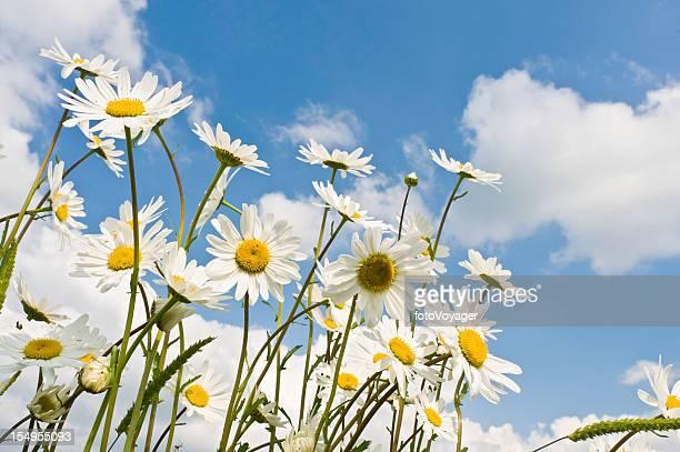 夏の野生の花々 daisies 成長している緑の牧草地