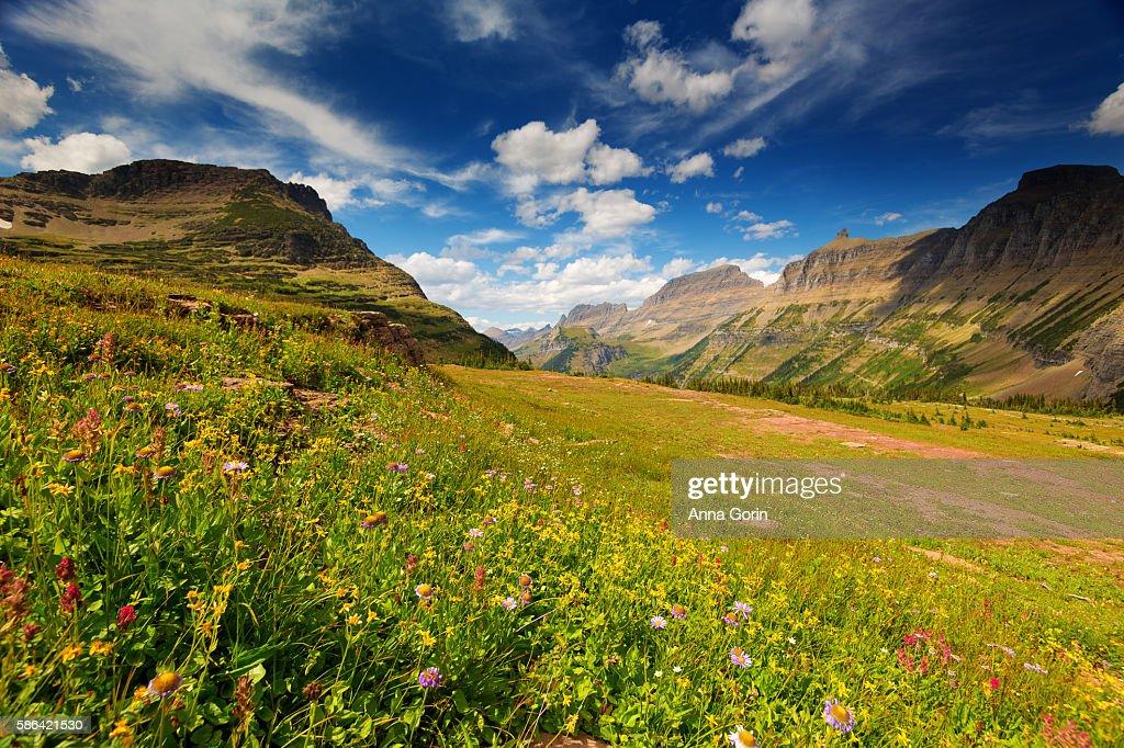 Summer wildflowers along trail to Hidden Lake at Logan Pass, Glacier National Park, Montana