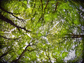 Looking up into the intricate canopy of deciduous woodland leaves and branches in summer