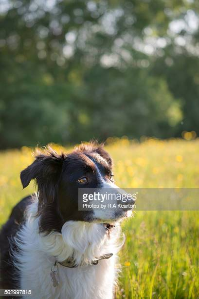 Summertime Border Collie