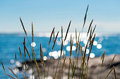 Reeds swaying in the summer breeze against a seaside backdrop of glittering sunshine