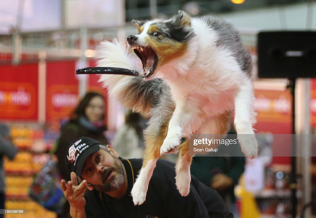 Summit, an Australian shepherd, makes a leaping catch of a frisbee thrown by dog trainer Juergen Bartz at the pet trade fair (Heimtiermesse) at Velodrom on November 2, 2012 in Berlin, Germany. Exhibitors are showing the latest trends in collars, snacks and other accessories for cats, dogs and other household pets.