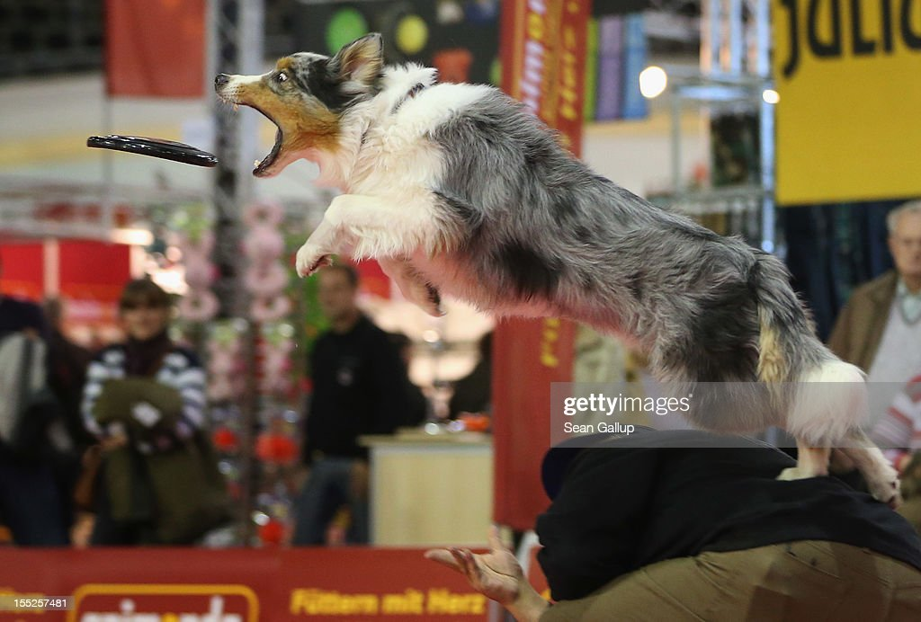 Summit, an Australian shepherd, makes a leaping catch of a frisbee while jumping off the back of dog trainer Juergen Bartz at the pet trade fair (Heimtiermesse) at Velodrom on November 2, 2012 in Berlin, Germany. Exhibitors are showing the latest trends in collars, snacks and other accessories for cats, dogs and other household pets.