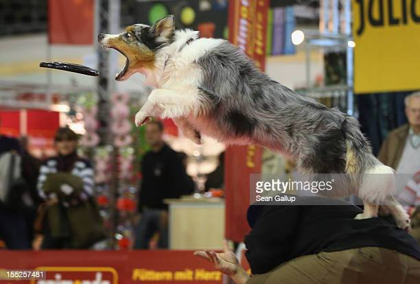 Summit an Australian shepherd makes a leaping catch of a frisbee while jumping off the back of dog trainer Juergen Bartz at the pet trade fair at...