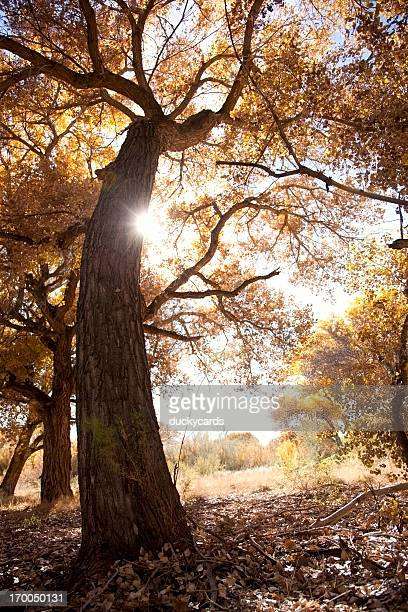 Sun and Cottonwood Tree in Fall