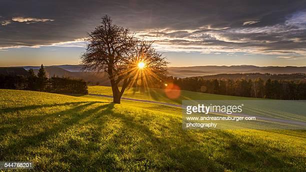 Sun beams falling trough an old tree