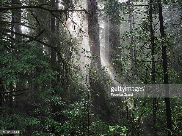 Sun Beams Through The Redwoods Forest, Northern California