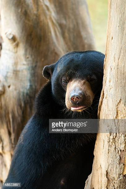 Sun bear (Helarctos malayanus) at Lok Kawi Wildlife Park.