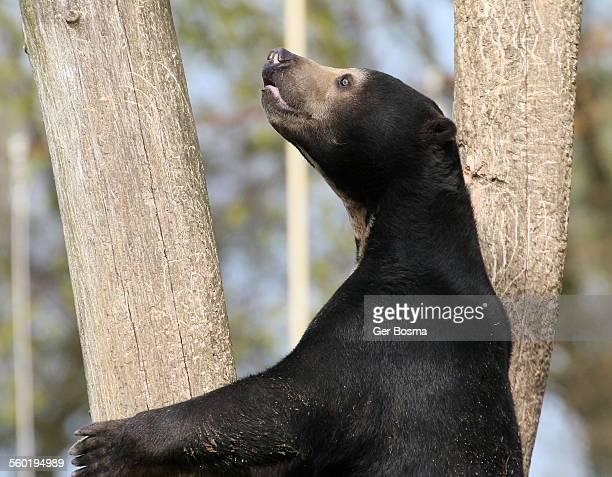 Sun bear in search of honey