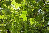 Sun breaking through palmately lobed leaves of Acer sp., Maple Tree.