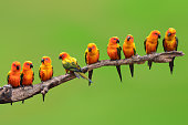 Nine of Sun Conure Parrot bird perching on a branch on green background