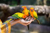 Sun conure birds eating food on hand. Feeding sun conure birds in Thailand. Close up