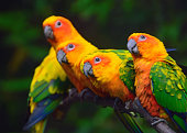 sun conure parrots also called sun parakeet (Aratinga solstitialis) sitting on a branch