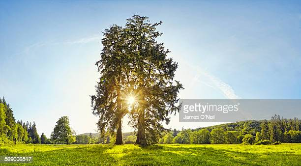 sun filtered through two large trees in open field