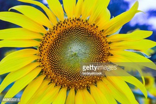 sun flower : Stock Photo