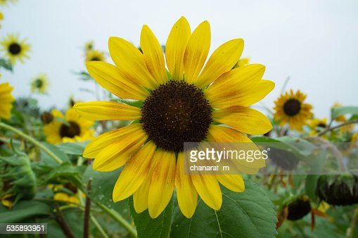 Sun Flower : Stock Photo