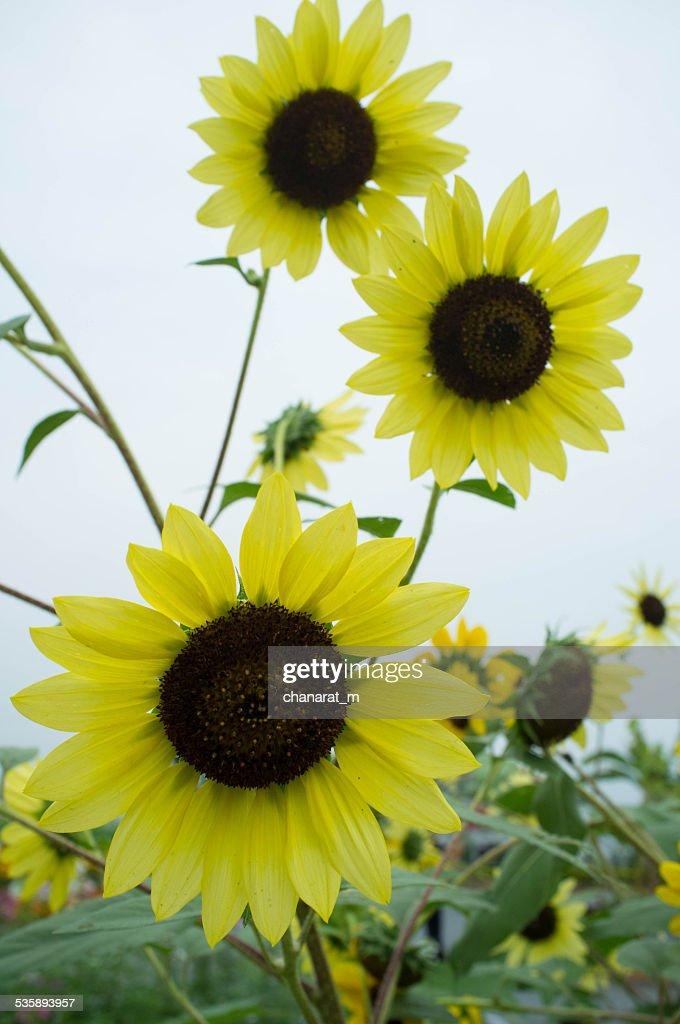 Sun-Blumen : Stock-Foto