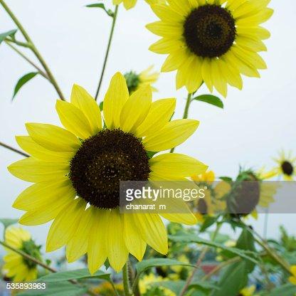 Sun Flower : Bildbanksbilder