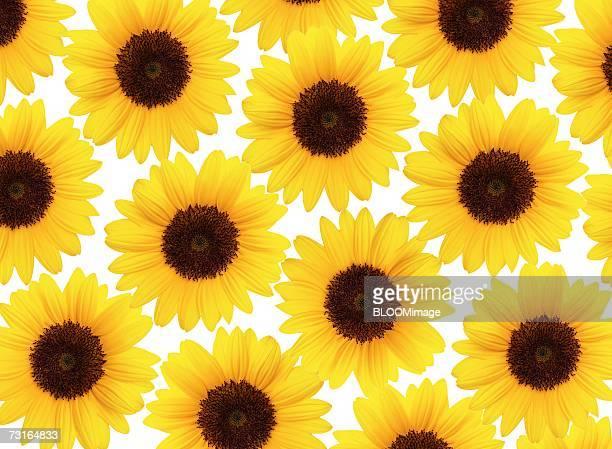 Sun flowers ,pattern